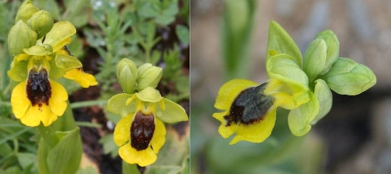 Ophrys lutea und Ophrys sicula