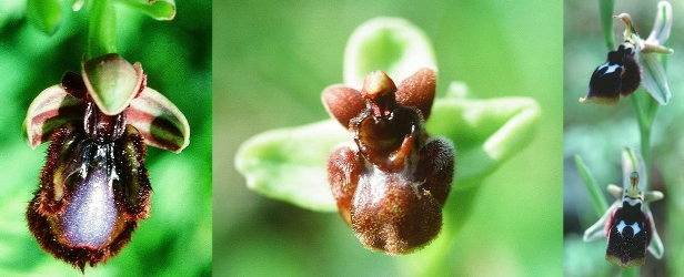 Ophrys speculum, Ophrys bombyliflora, Ophrys reinholdii